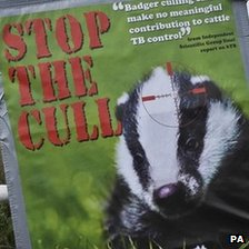 Anti-badger cull poster