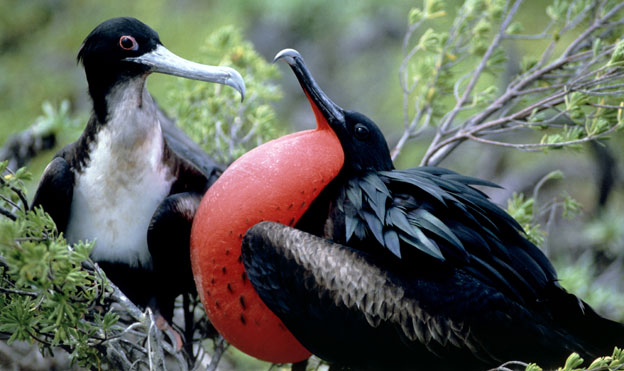 Great frigate birds, Christmas Island