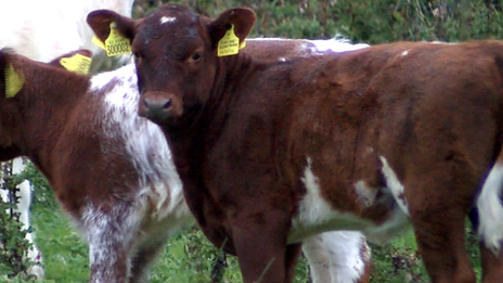 The Northern Dairy shorthorn
