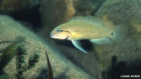 A photo of a Telmatochromis temporalis - the rare African tropical fish that went missing