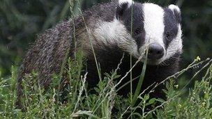 Badger walking through grass