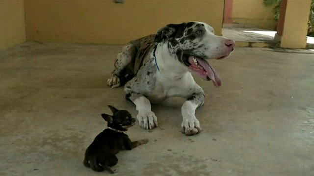 Miracle Milly with a Great Dane