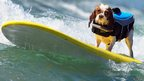 Dog on bright yellow surf board!