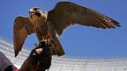 The Peregrine falcon is one of the fastest birds of prey in the world and is used to chase away rodent birds at the Cape Town soccer stadium and other venues. It takes around three weeks for a bird to be trained for rodent prevention.