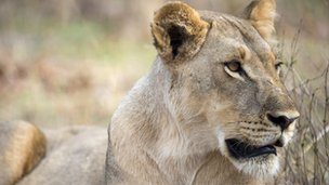 A lioness in Hwange National Park in Zimbabwe on 18  November 2012