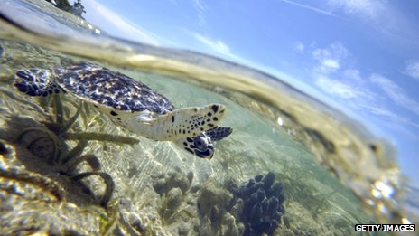A turtle swimming in shallow waters