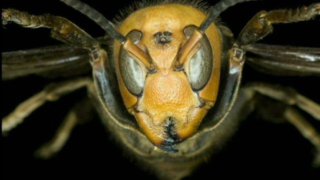 A giant hornet
