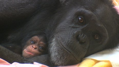 Chimpanzee mother Cherri and one of her twins