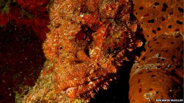 Stone fish hiding behind sponge