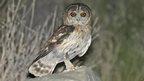 An Omani Owl