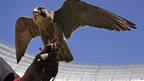 A peregrine falcon sitting on the gloved hand of his trainer in Cape Town, South Africa - Monday 30 September 2013