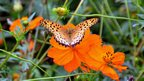 A butterfly lands on orange cosmos in fully bloom at the Kasai Rinkai Park in Tokyo. People enjoyed picking flowers at the beginning of autumn as the park opened the cosmos field for gathering flowers.