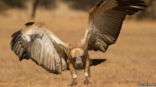 A Cape vulture landing
