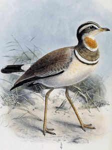 Jerdon's Courser illustration