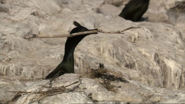 Shag with piece of driftwood from a nest