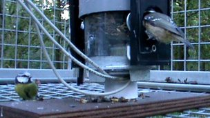 Blue tits on feeding station
