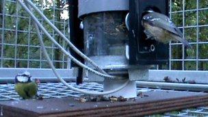 Blue tits on feeding station