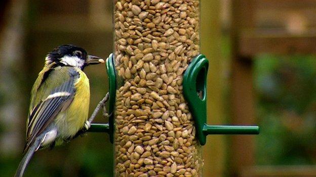 Great tit on feeder