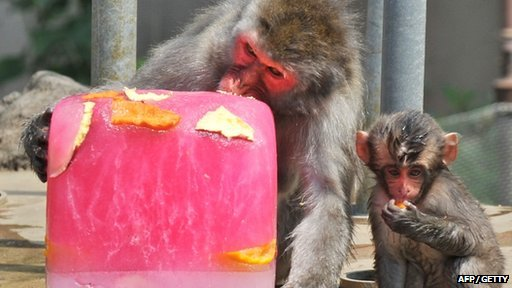A Japanese macaque bites into a large block of ice containing frozen fruits to help beat the summer heat at the Sendai Yagiyama Zoological Park in Miyagi prefecture