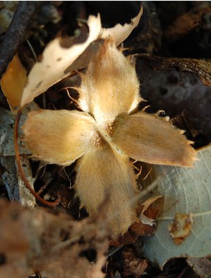 Beech seed shell (Image: BBC)