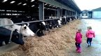 Girls looking at cows on a farm