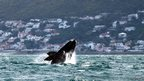 A Southern right whale breaches near the shore of Muizenberg Beach in False Bay, Cape Town