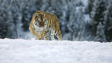 Canine virus threatens Siberian tiger
