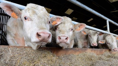 French Charolais bulls - file pic