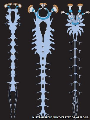 an illustration of the nervous systems of the Alalcomenaeus fossil (left), a larval horseshoe crab (middle) and a scorpion (right).