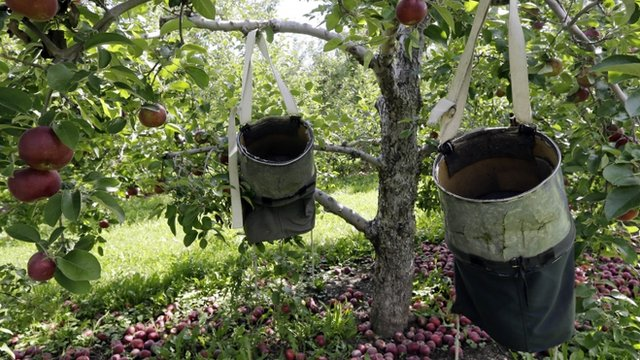 Apple tree with collecting sacks hanging from the branches