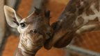 An eleven day old newborn giraffe calf stands beside his mother