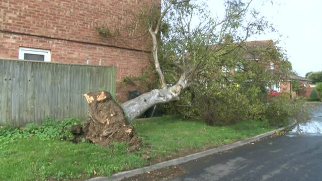 Uprooted tree in Hayling Island