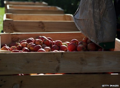 Gala apples being harvested in England