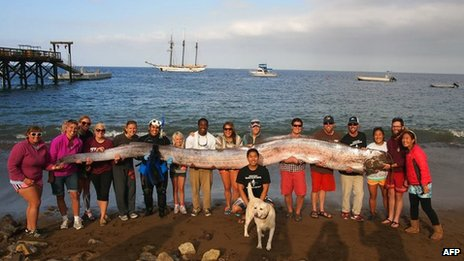 Oarfish found on Santa Catalina island, California, 16 October 2013