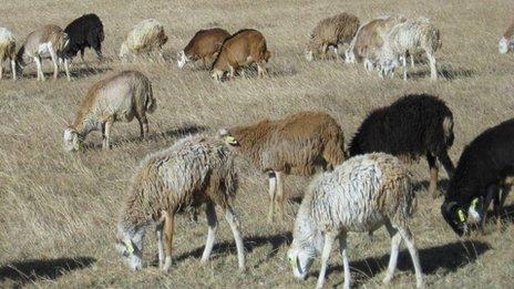 Ethiopian hair sheep
