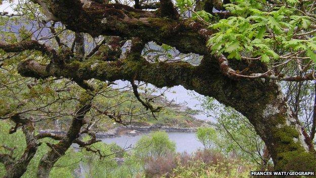 Sunart oaks