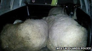 sheep in police van