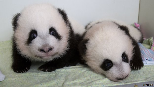 Twin panda cubs Mei Huan and Mei Lun.