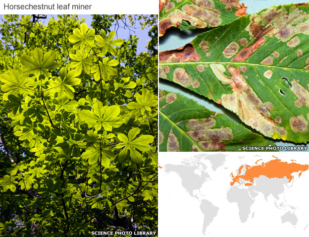 Horse chestnut, affected leaves and spread map