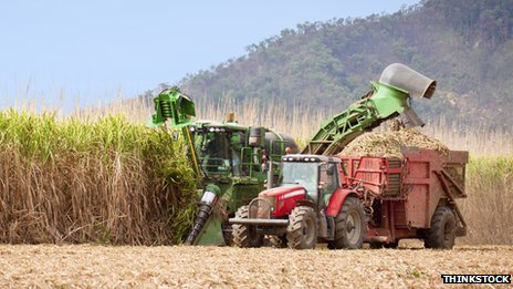Sugar cane being harvested