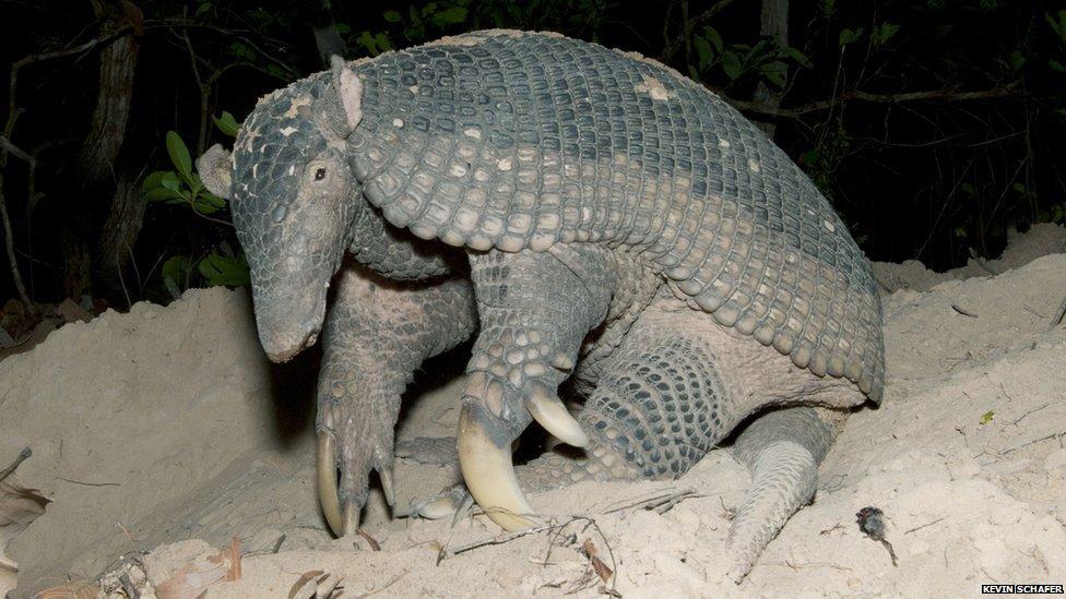 Ancient giant armadillo - photo#12