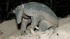 Giant armadillo outside giant armadillo burrow