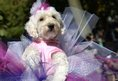 A dog in costume participates in the 23rd Annual Tompkins Square Halloween Dog Parade on October 26, 2013 in New York City. Thousands of spectators gather in Tompkins Square Park to watch hundreds of masquerading dogs in the countrys largest Halloween Dog Parade
