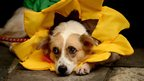 A dog dressed as a sunflower rests on the ground