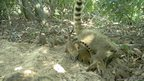 Coatis nearby a giant armadillo burrow