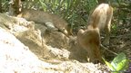 Two pumas at giant armadillo burrow