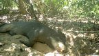 Feral pig rests near giant armadillo burrow
