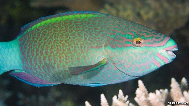 Adult parrotfish (c) JP Krajewski