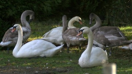 Swans at West Hatch Animal Centre in Taunton, Somerset