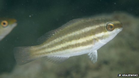Juvenile parrotfish (c) JP Krajewski